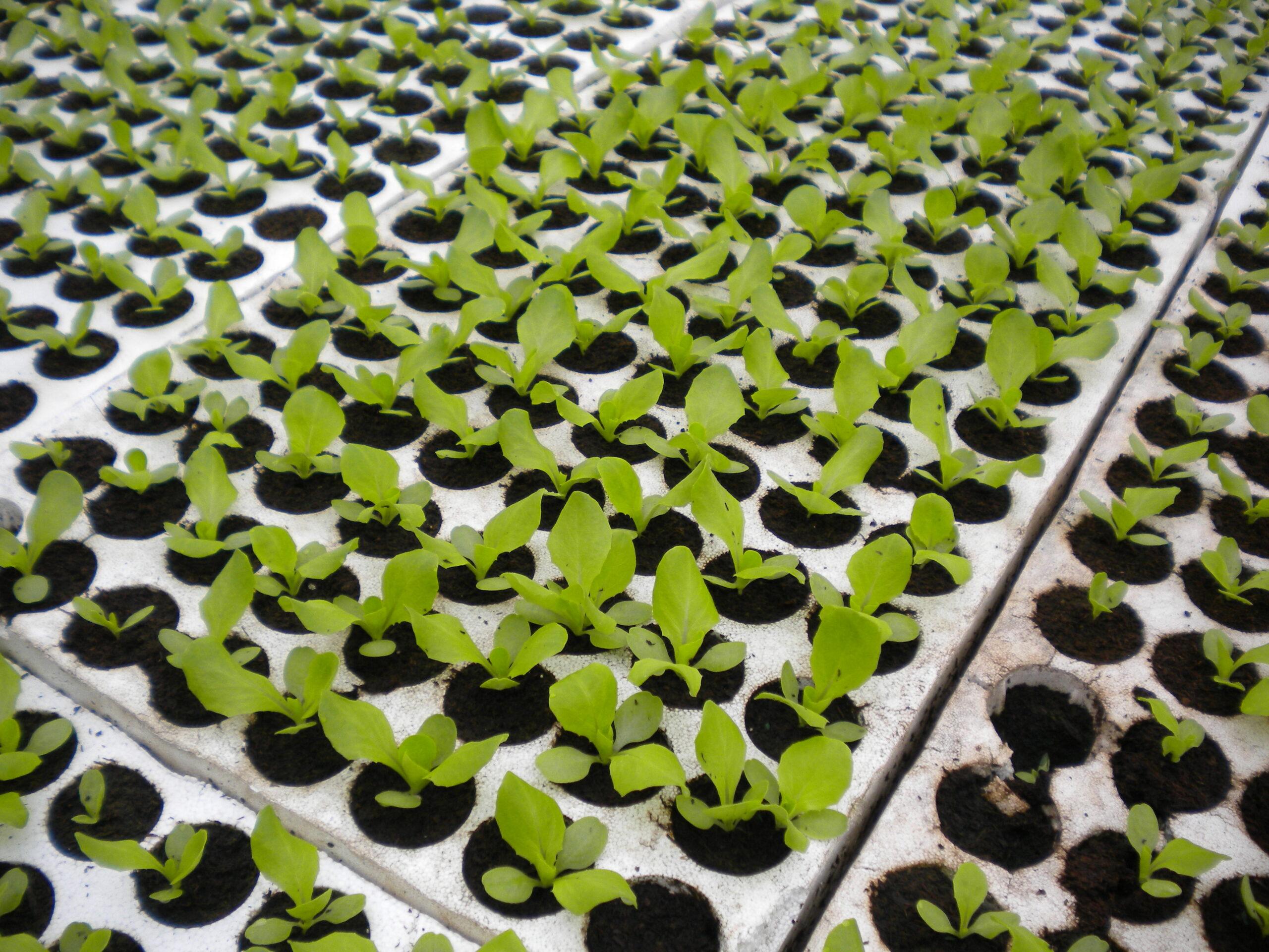 Proizvodnja salate u plastenicima