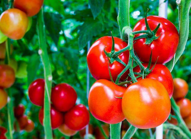 Kako gajiti paradajz