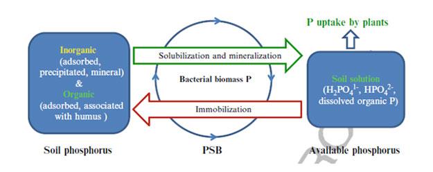 Fosfomineralizacija
