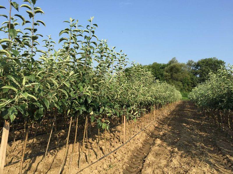 Sadnja voća (jabuka,kruška,šljiva)