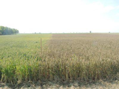 Dani polja strnih žita