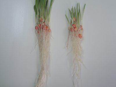 Slavol S i Rizol za soju – za stimulaciju klijanja semena, ujednačenog nicanja i jačeg korenovog sistema