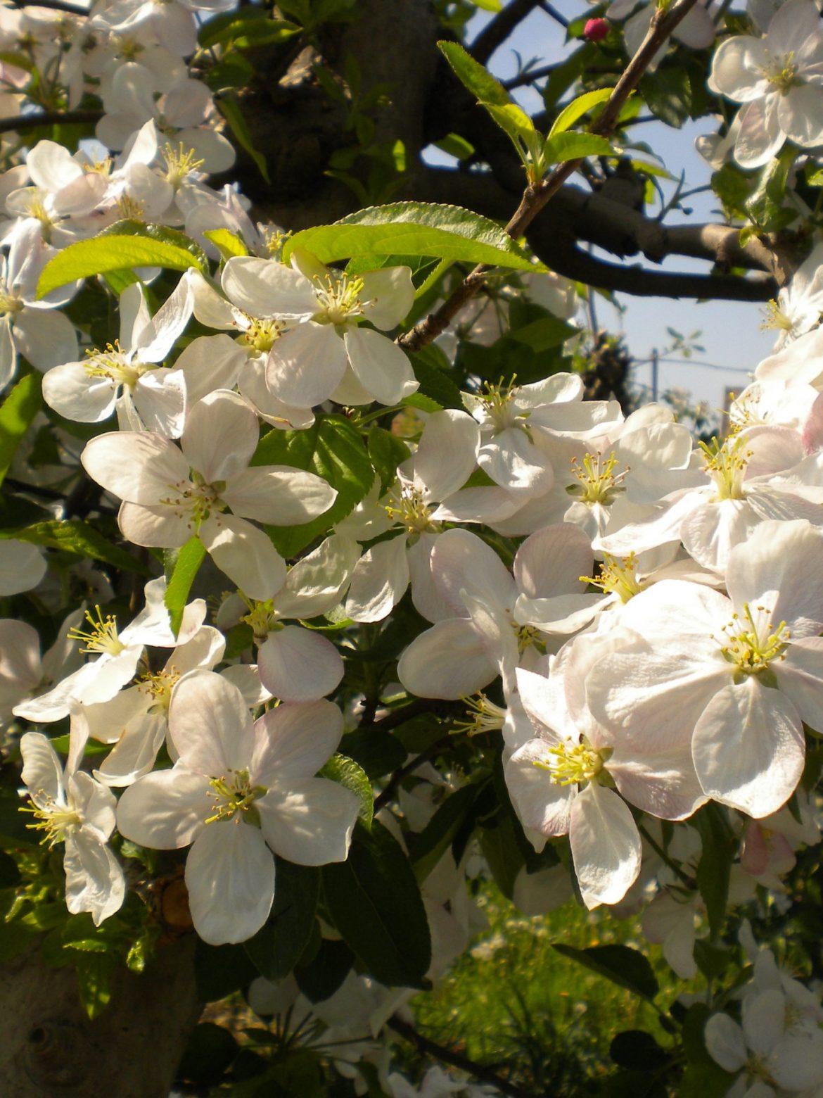 Saveti naše stručne službe za voćarstvo za tretmane u cvetanju jabučastog voća.